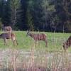 «Konsentrert» hjortejakt i år