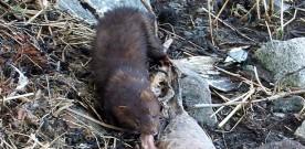 Ikkje  skotpremie  –  minken  kan  leva  i  fred
